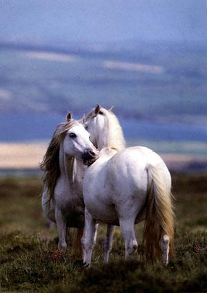 2 white horses