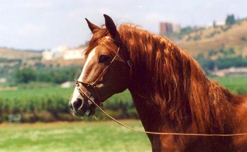 Portuguese horse picture