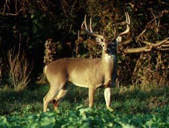 deer picture 1