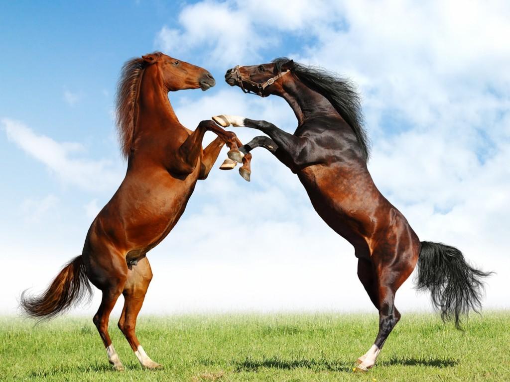 europe horses wallpaper