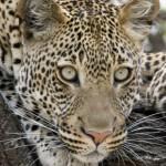 Big face leopard wallpaper