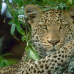 Dark leopard wallpaper