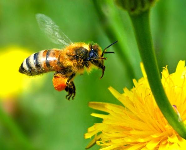 honeybee hd pc wallpaper