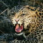 Fat leopard wallpaper