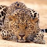 Leopard in desert wallpaper