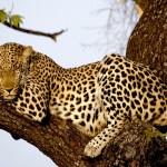 Leopard sleeping wallpaper
