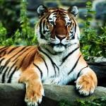 Regal tiger wallpaper