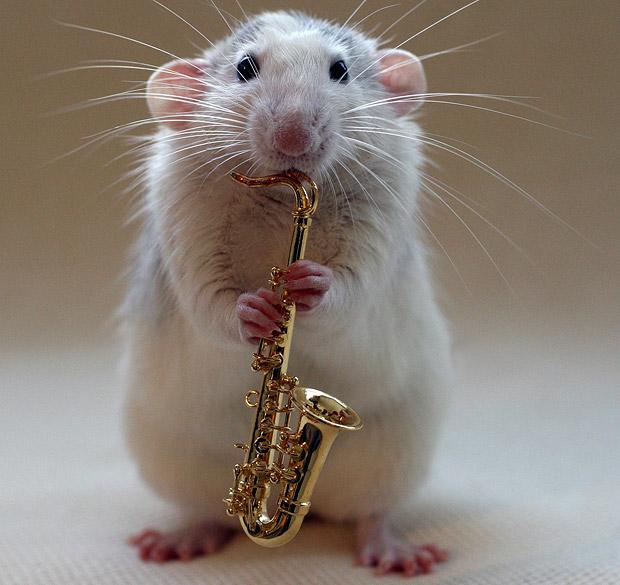 white rat picture