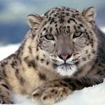 Snow leopard picture