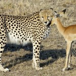 cute cheetah picture
