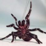 australian spider picture