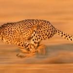 danger cheetah picture