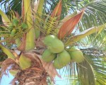 coconut tree wallpaper