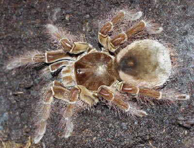 Hairy spiders venom south america