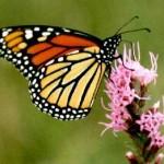monarch butterflies picture