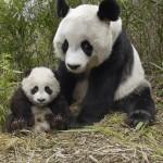 panda bear picture