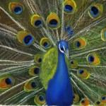 presthus peacock picture