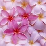 plumeria flower wallpaper