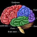 3d brain picture