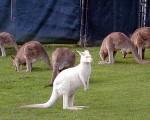 nice kangaroo picture