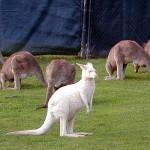 white kangaroo picture