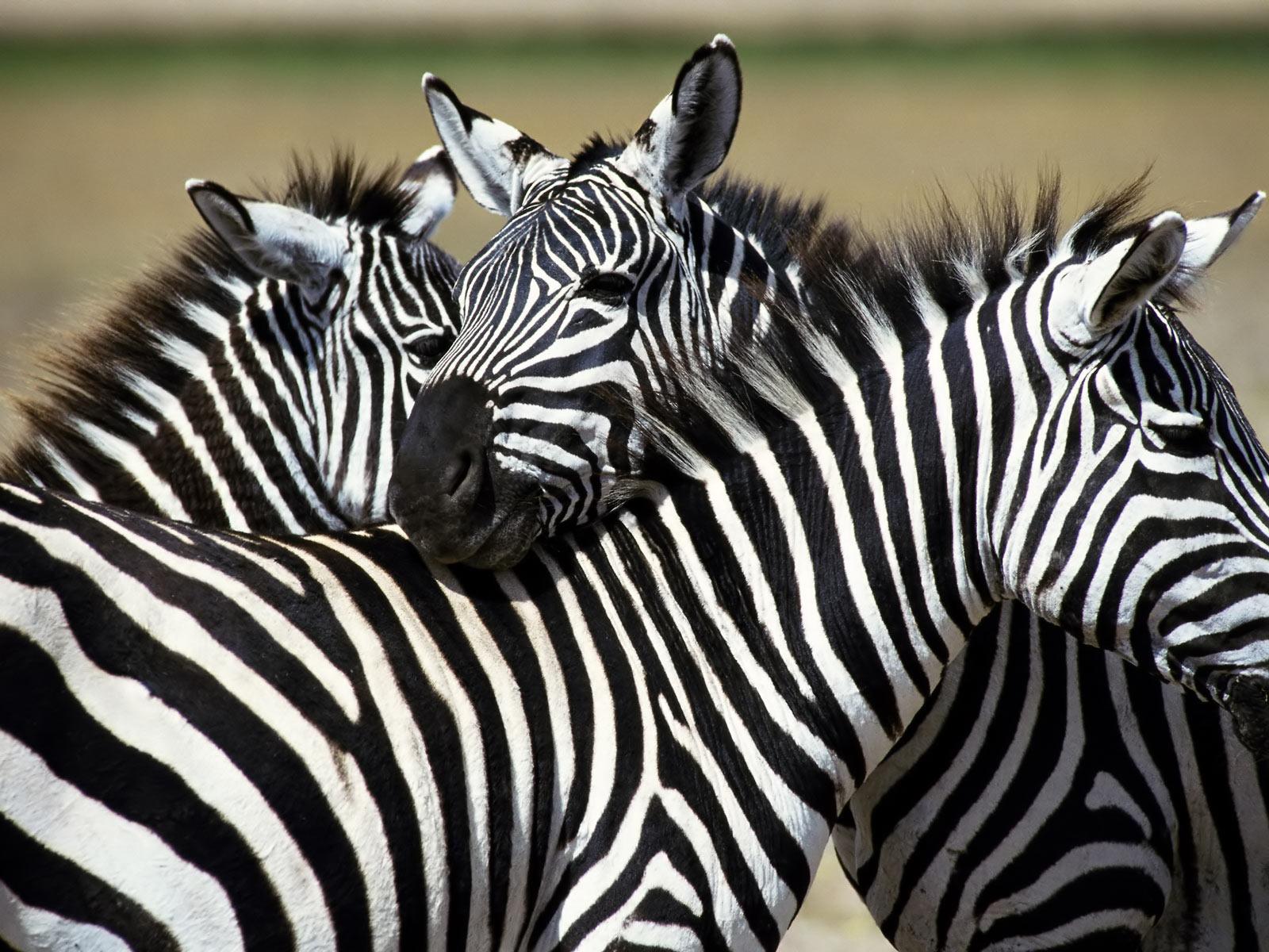 zebra desktop background