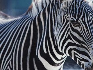 nice zebra picture