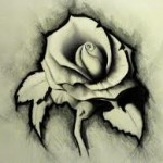 white rose drawing wallpaper