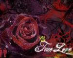 red rose free love wallpaper