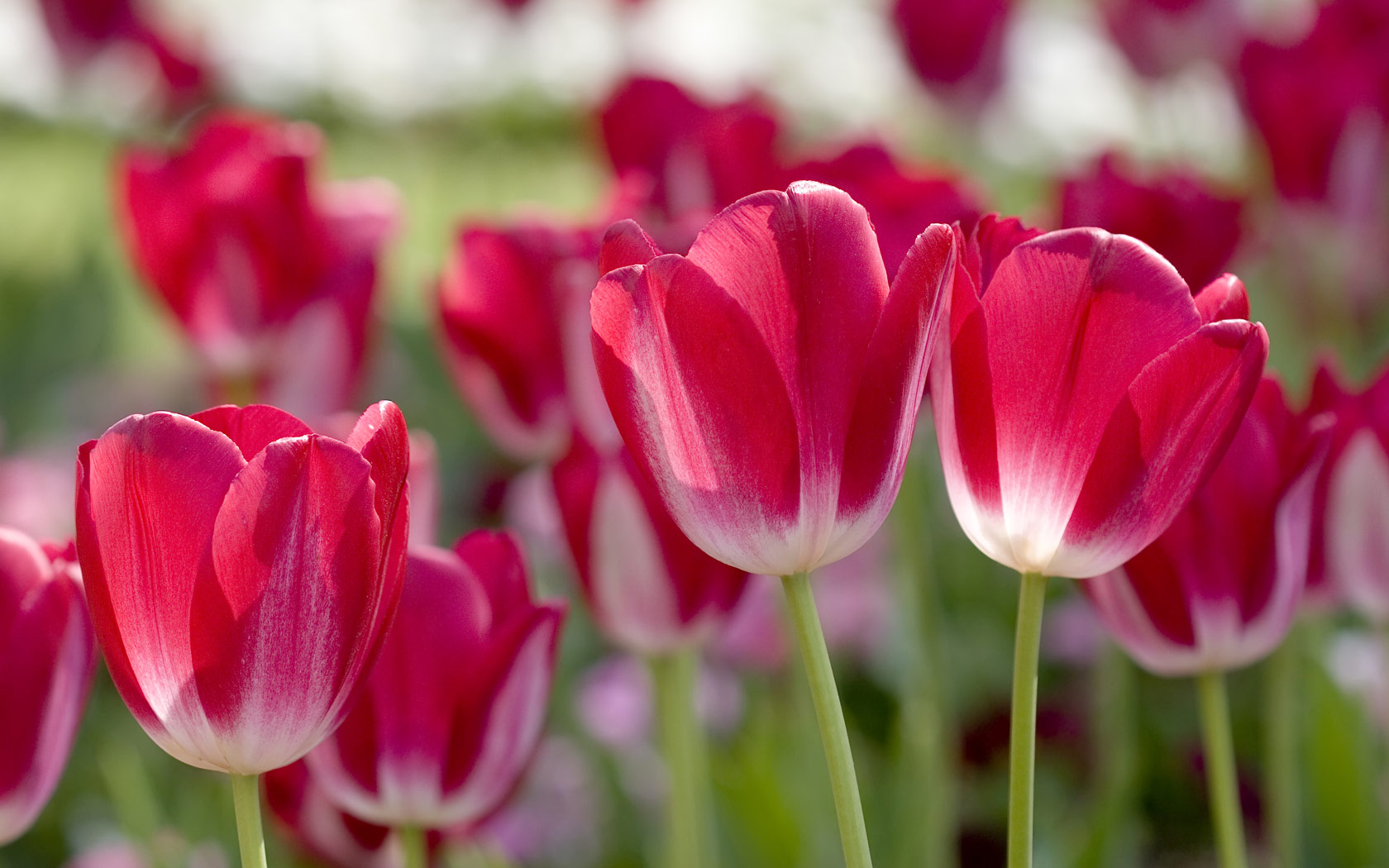 Most Inspiring Wallpaper Mac Spring - red-tulips-spring  HD_889743.jpg
