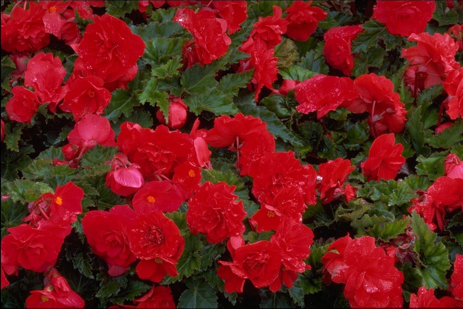 Названия и фото красных цветов