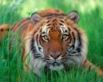 Tiger-Desktop-HD-Wallpapers-Download-www