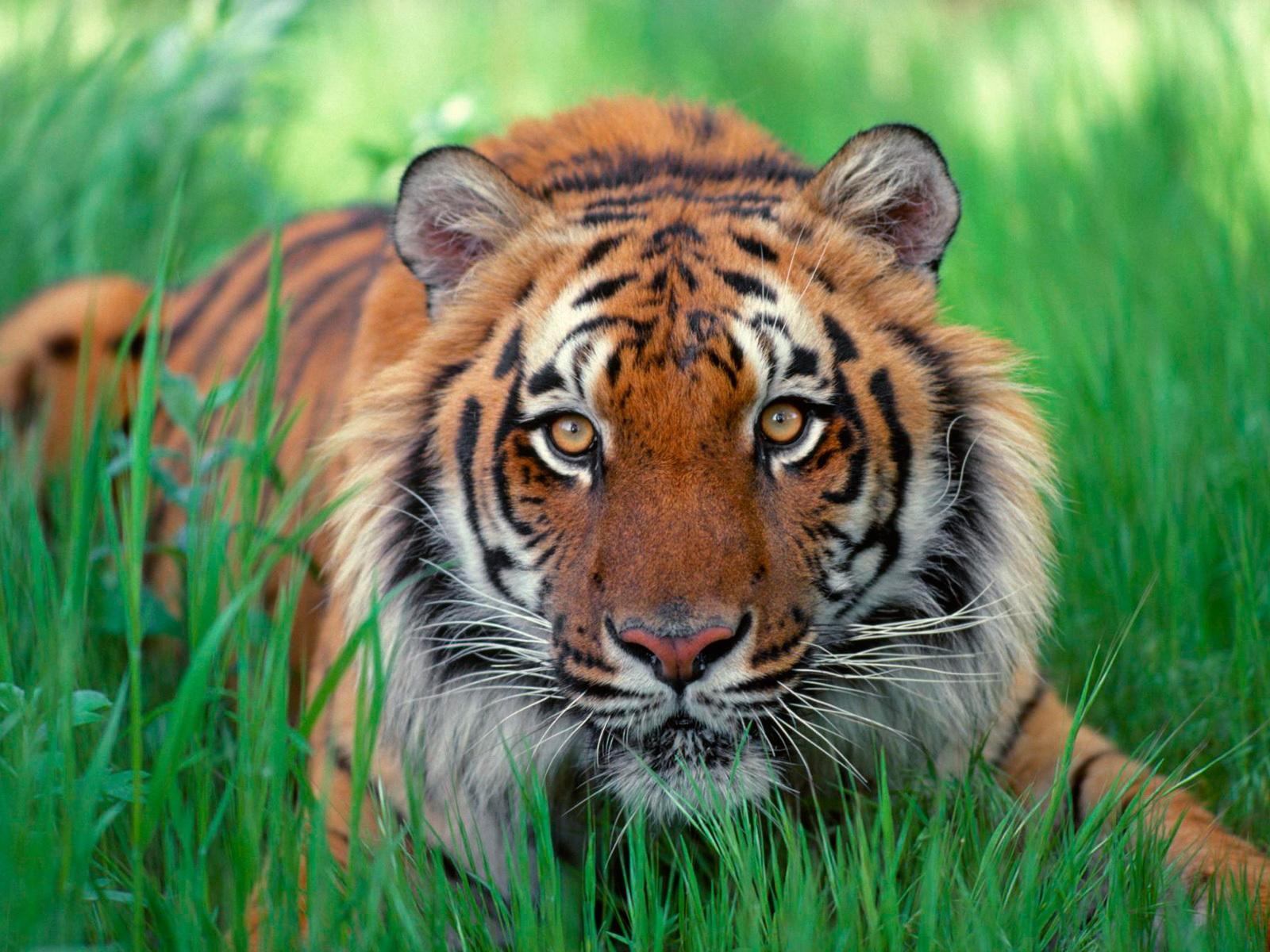 Tiger-Desktop-HD-Wallpapers-Download-www.stillmaza.com-3