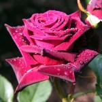 29-rose