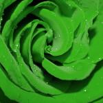 super green rose picture