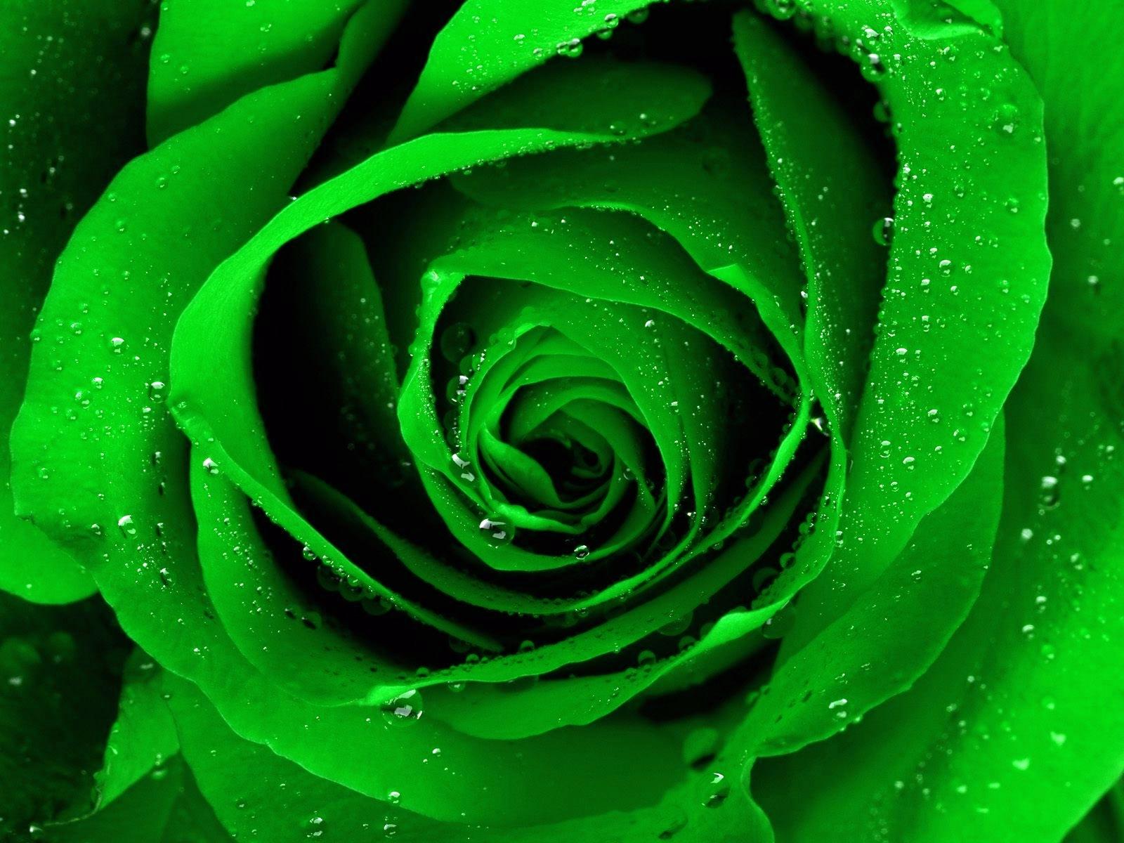 dark green rose picture