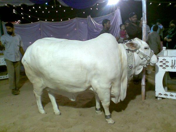 cow pictures of eid ul azha
