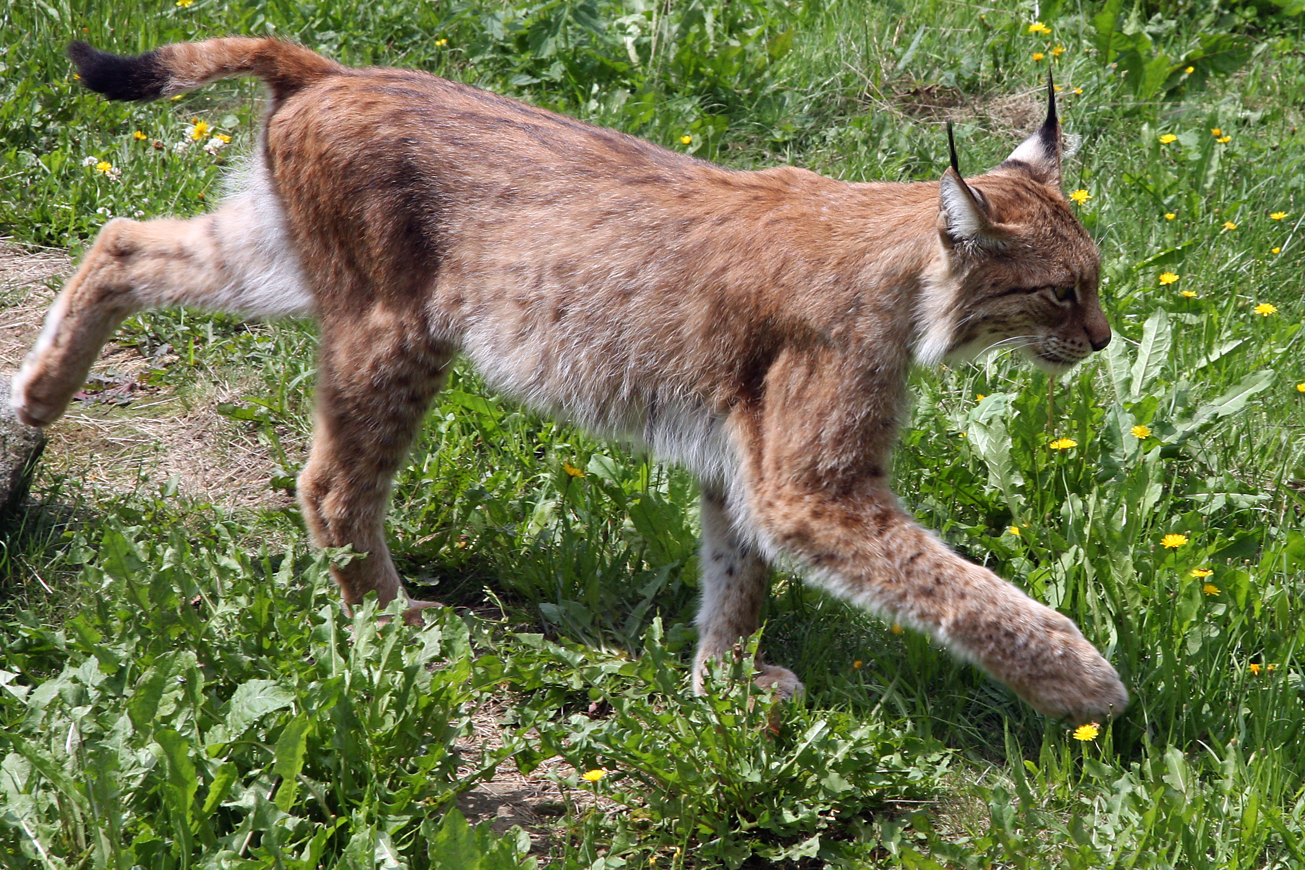 wonderful lynx image`