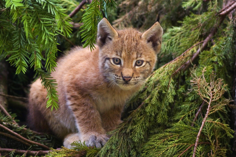 brown lynx image pc