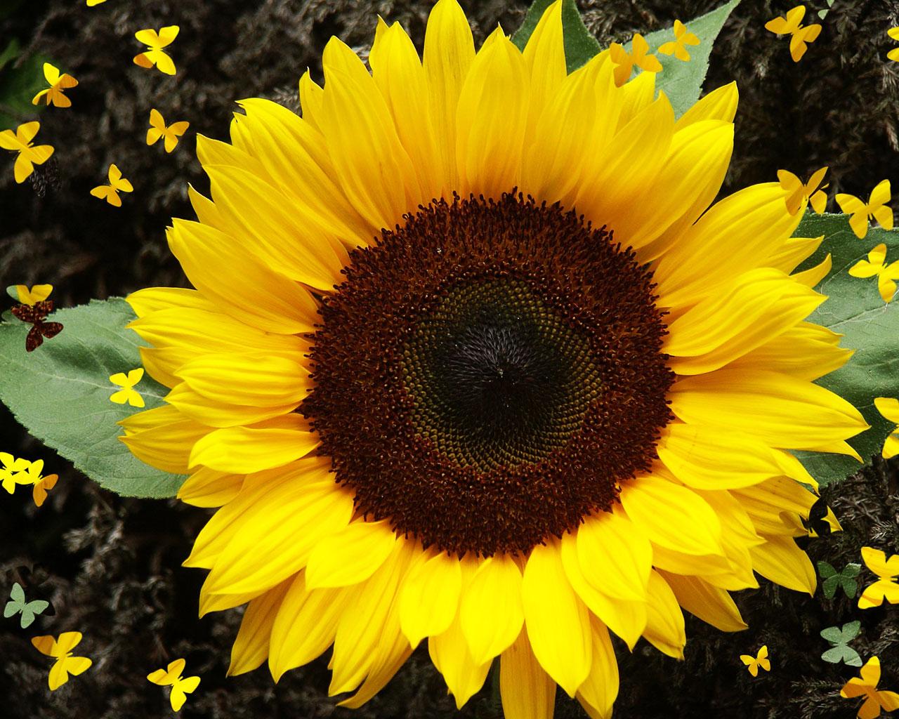 top sun flowers image