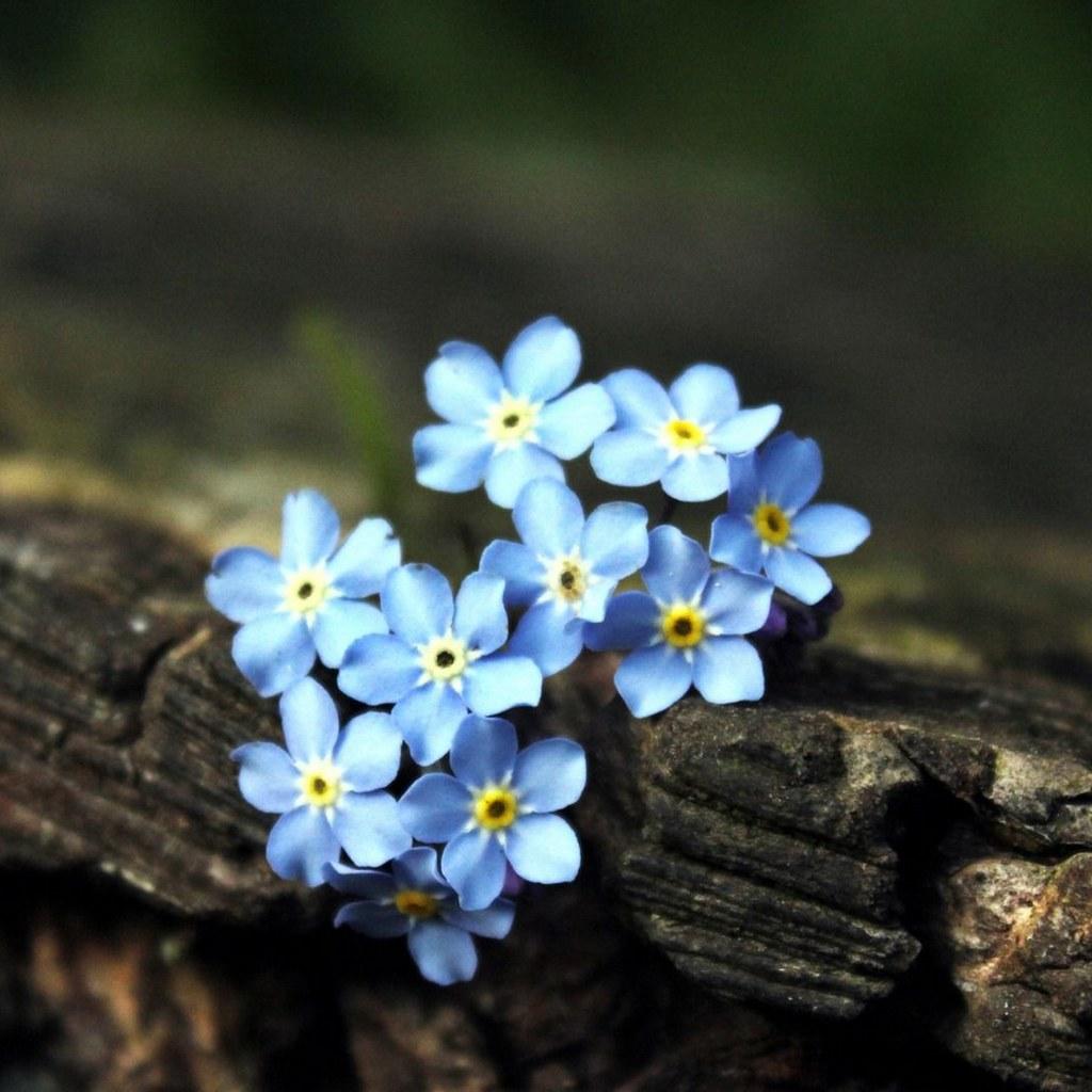 landscape myosotis flowers image