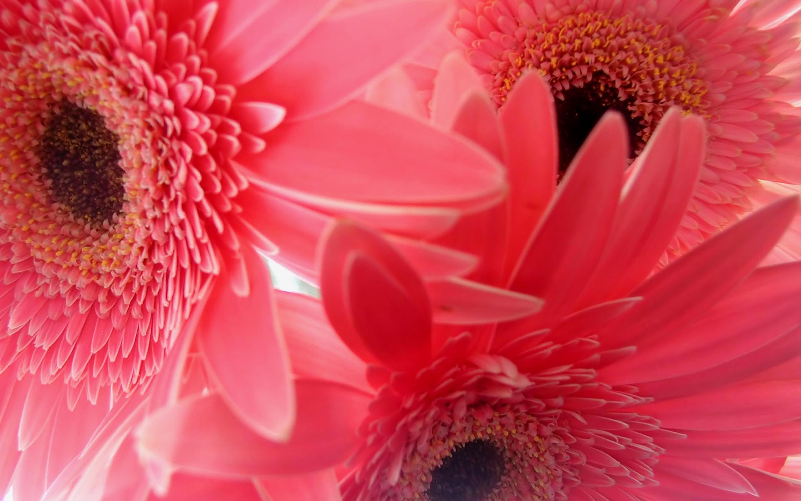sweety gerbera flower image