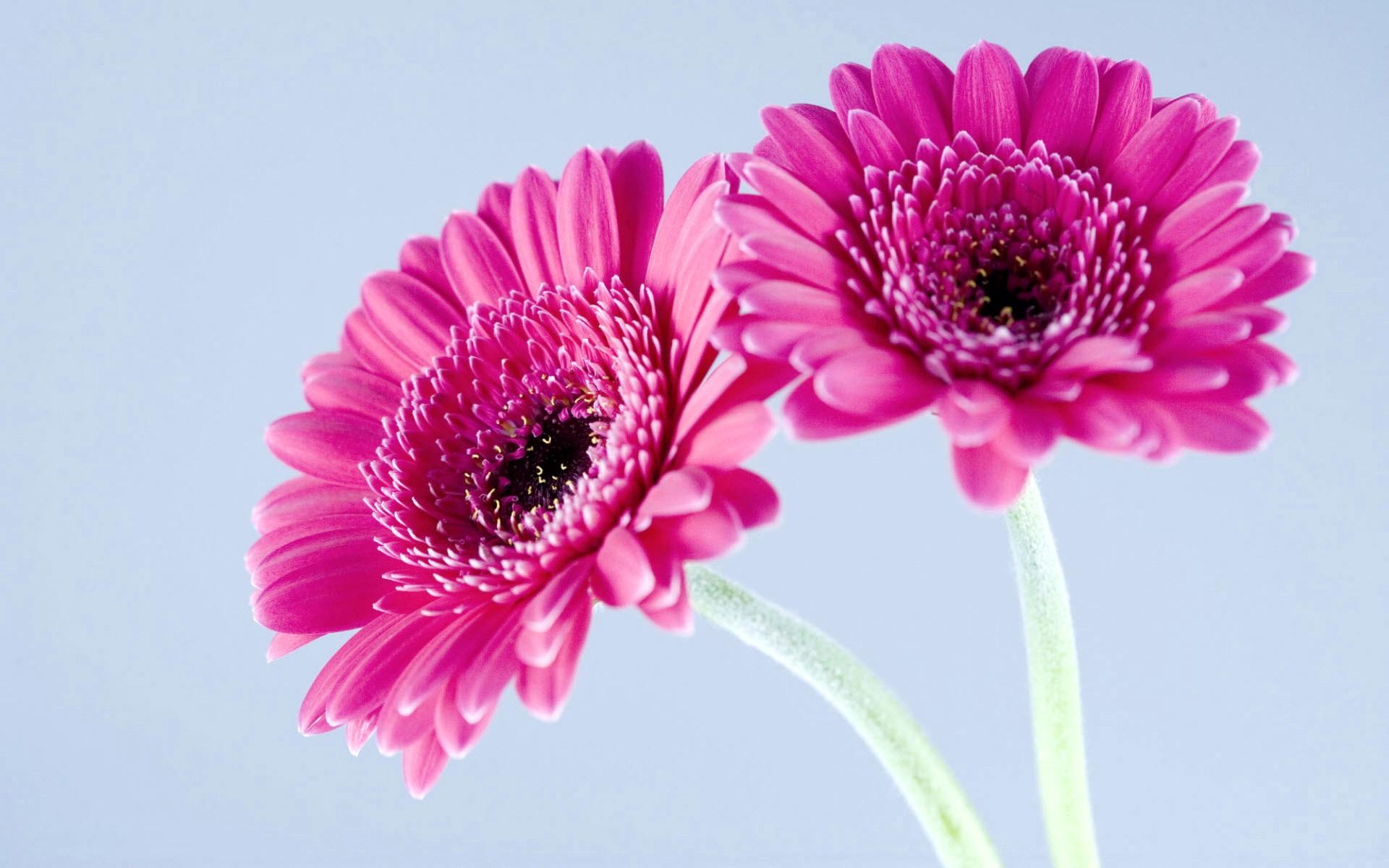 pink gerbera flower image