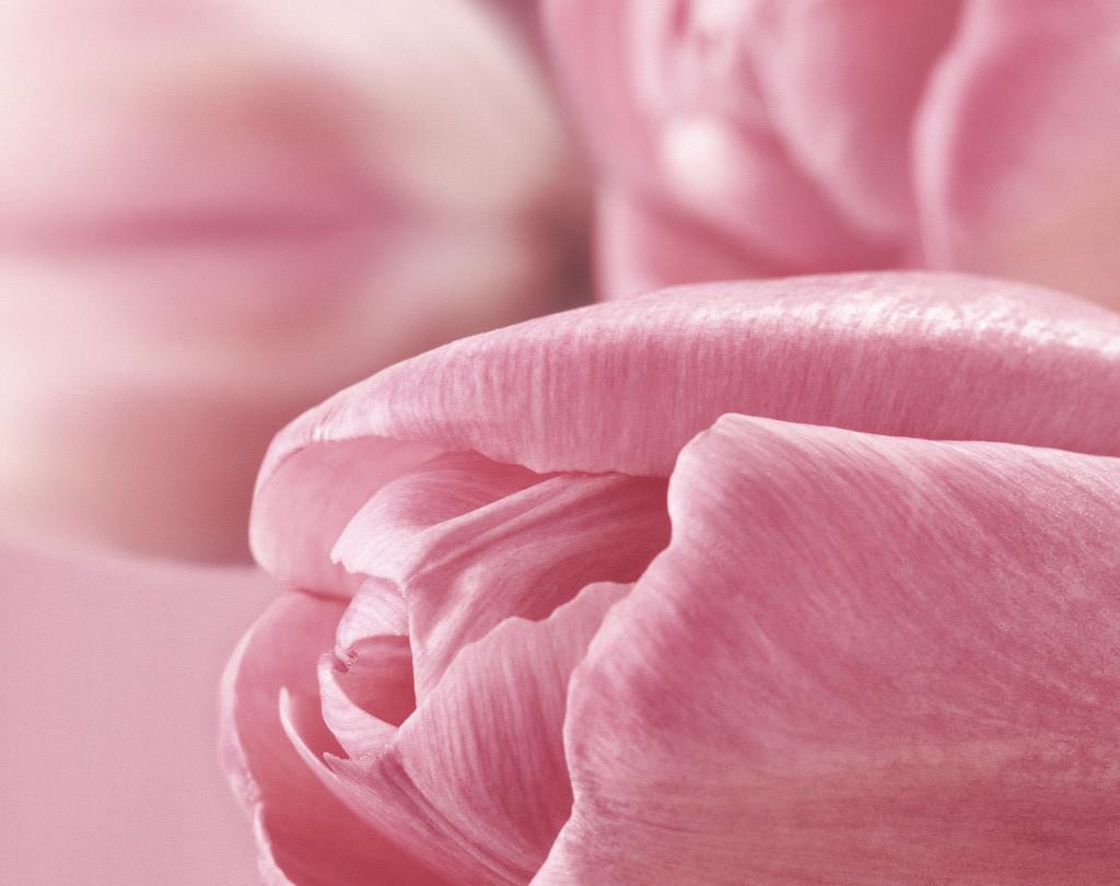sweet pink petal image