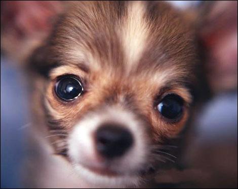 brown chihuahua image