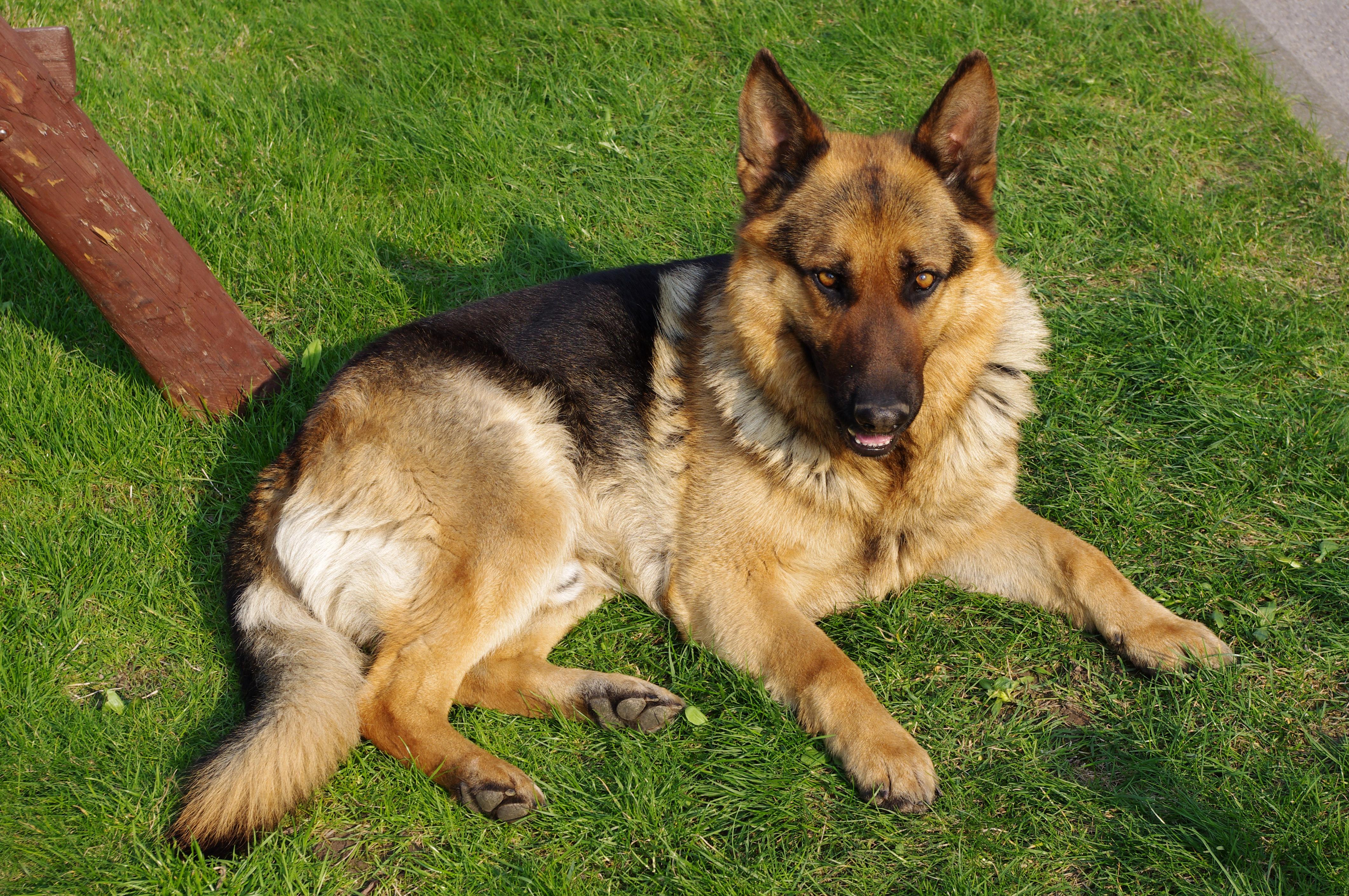 best german shepherd pictures