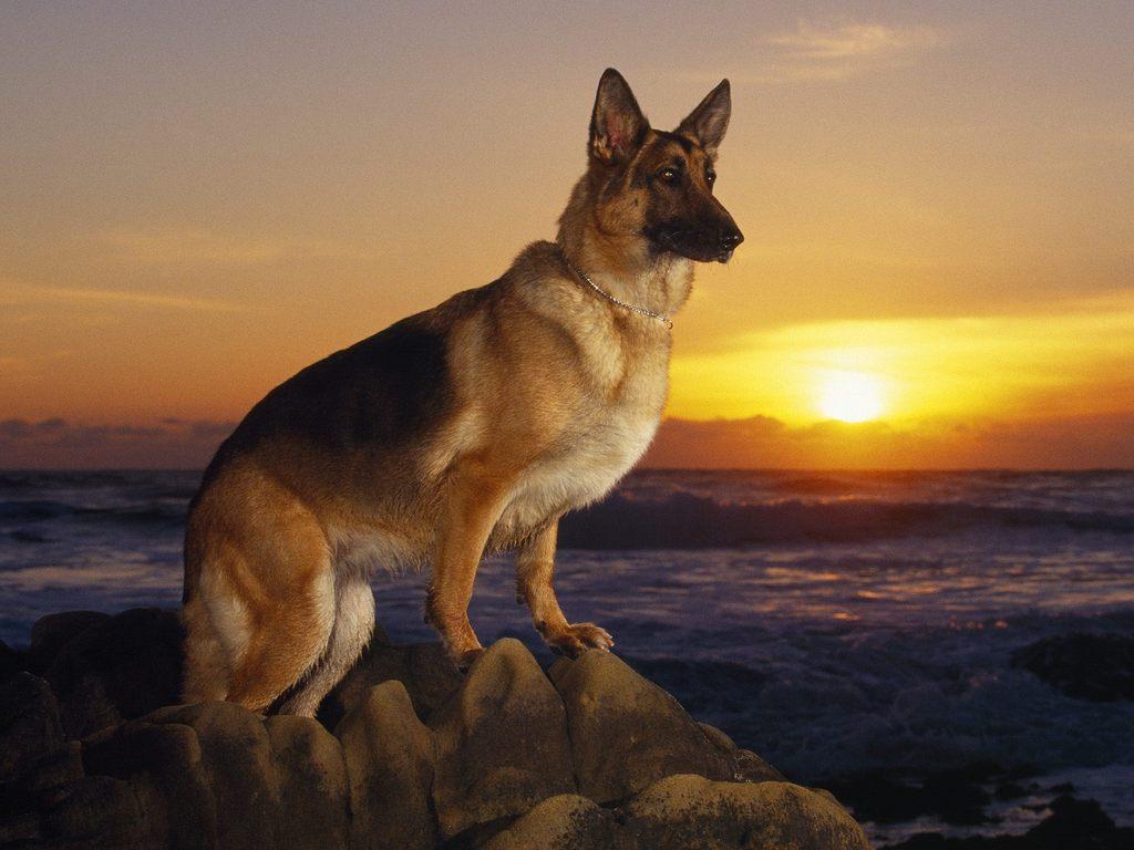 full hd german shepherd