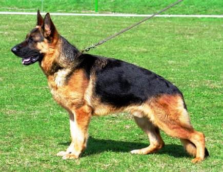 top german shepherd image