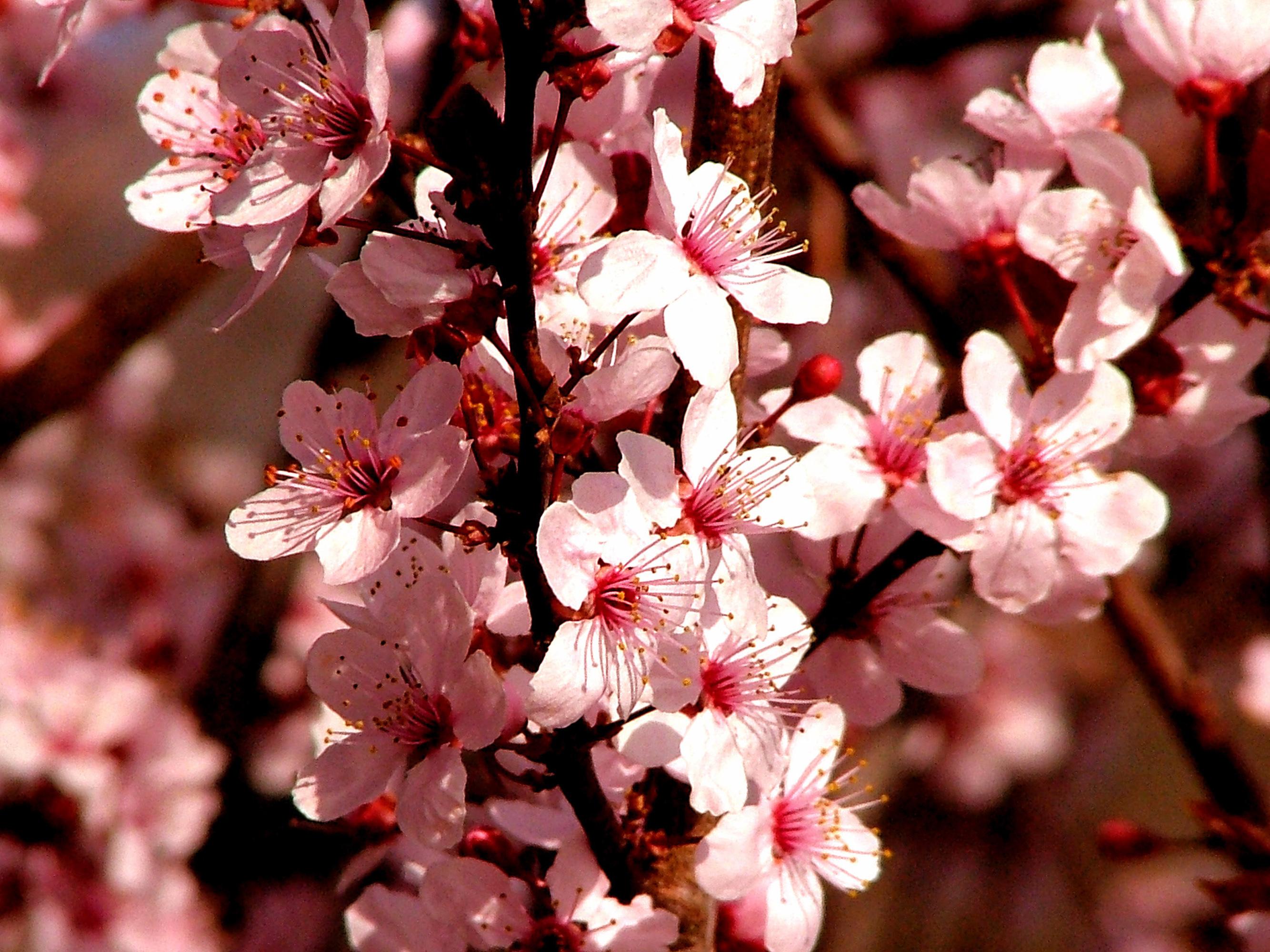 fractal cherry flower image