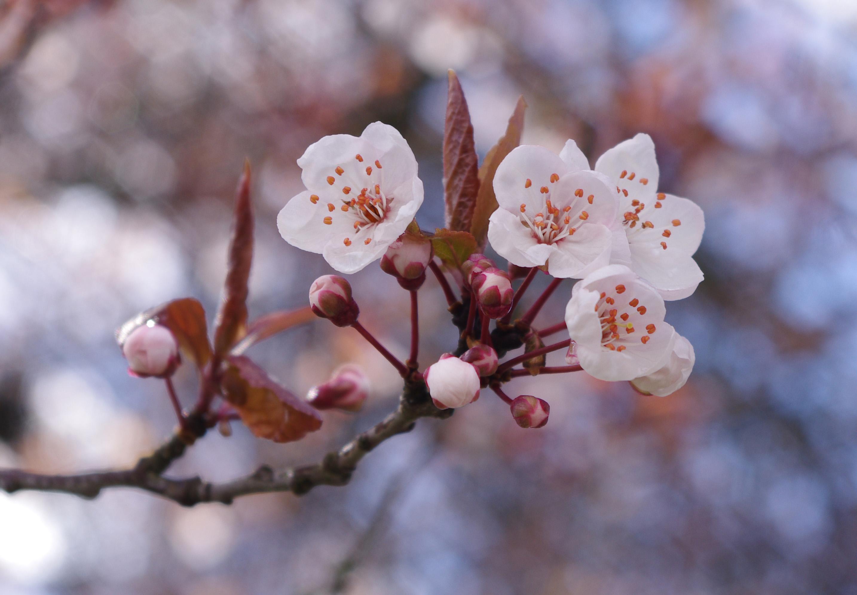 white art cherry flower picture